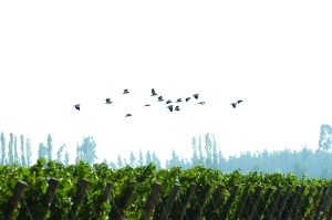 Birds Flying over De Martino Vineyard