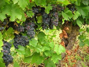 Mencia vines