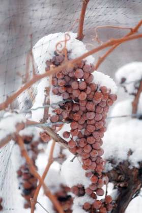 A frozen bunch of Vidal grapes for Icewine