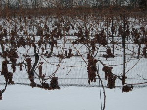 Icewine grapes still in the vineyard