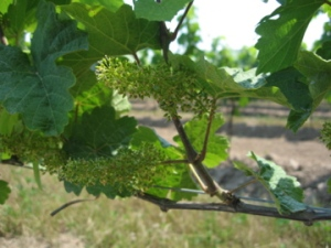 Mid-June 2012 vines at Fielding Estate Winery